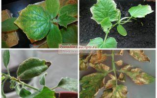 Черная клубника: общая характеристика и преимущества, сорта, технология выращивания земляники , фото, видео – выращиваем в теплице