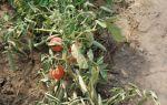 Фузариозное увядание томатов: лечение, фото, признаки, профилактика, видео – выращиваем в теплице