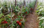 Клубника в теплице: как подготовить к зиме, выращивание круглый год, технология зимнего ухода, фото, видео – выращиваем в теплице