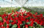 Выращивание роз в теплице: бизнес-план, рентабельность, преимущества, фото, видео – выращиваем в теплице