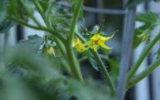 Пустоцвет на помидорах в теплице: почему образуются, что делать, фото, видео – выращиваем в теплице