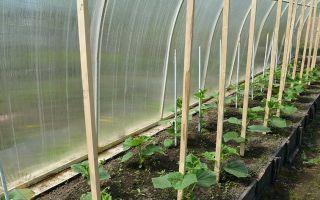 Что можно посадить в теплице в августе: как и что сеять, совмещение, советы, фото, видео – выращиваем в теплице