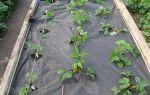 Мульчирование клубники: под пленку, другие укрывные материалы, выращивание, фото, видео – выращиваем в теплице