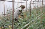 Как правильно пасынковать помидоры в теплице: видео, схема, как обрывать пасынки, дальнейший уход, фото – выращиваем в теплице