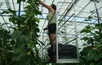 Теплицы для огурцов промышленные: особенности выращивания, отличия от малых, фото, видео – выращиваем в теплице