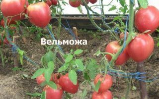Томат вельможа (45 фото): характеристика и описание сорта, отзывы кто сажал помидоры – выращиваем в теплице