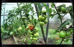 Томат яблонька россии (45 фото): характеристика и описание сорта помидор, отзывы – выращиваем в теплице