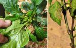 Сладкий перец: болезни в теплице, причины, лечение, фото, видео – выращиваем в теплице