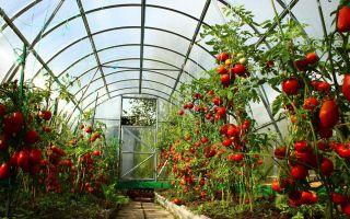 Лучшие томаты для теплицы в подмосковье: какие лучше сажать, как выбирать, фото, видео – выращиваем в теплице