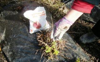 Уход за клубникой: подкормка, удобрения при посадке, гербициды, обрезка, опыление, видео, фото – выращиваем в теплице