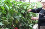 Как ускорить созревание перцев в теплице: эффективные способы, когда снимать плоды, как собирать урожай, фото, видео – выращиваем в теплице