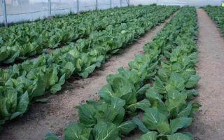 Капуста – выращиваем в теплице