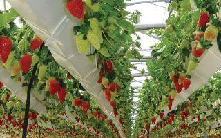 Клубника на гидропонике: выращивание, уход, преимущества метода, фото, видео – выращиваем в теплице
