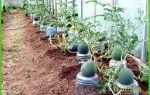 Как подвязать арбузы в теплице: материалы, когда подвешивать, описание процесса, фото, видео – выращиваем в теплице