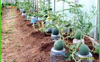 Томат земляк (50 фото): кто сажал помидоры, характеристика и описание сорта, отзывы, видео – выращиваем в теплице