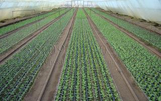 Выращивание хризантемы в теплице: технология, советы, фото, видео – выращиваем в теплице