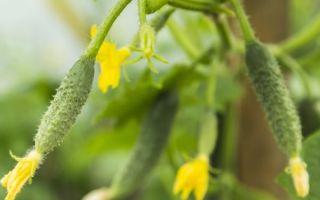 Завязь для огурцов: характеристика, инструкция по применению, почему не растут, сохнут завязи, фото, видео – выращиваем в теплице