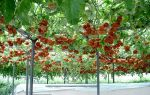 Томат спрут: характеристика помидорного дерева, правила выращивания, фото, видео – выращиваем в теплице