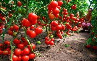 Семена помидоров: лучшие и урожайные сорта для открытого грунта, отзывы, фото, видео – выращиваем в теплице