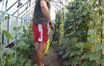 Когда квасить капусту по лунному календарю в 2018 году: благоприятные дни – выращиваем в теплице