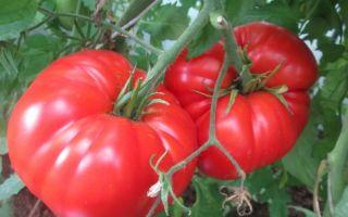 Томат лучезарный гигант (55 фото): лимонный король, помидоры новикова, сахарный и испанский, описание, видео – выращиваем в теплице