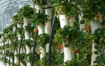 Вершинная гниль томатов: какое лечение помидоров, почему гниют зеленые плоды, описание, видео – выращиваем в теплице