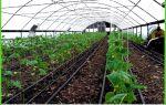 Огурцы: посадка, выращивание в открытом грунте, как правильно вырастить на шпалере, сроки, технология агротехники, фото, видео – выращиваем в теплице