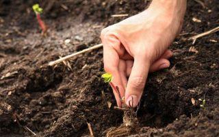Посадка клубники осенью: как правильно садить, сроки, выбор сорта, фото, видео – выращиваем в теплице