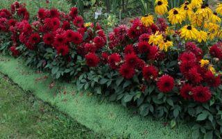Цветы желтые георгины: плайя бланка, леди дарлинг, кабальеро, фото, видео – выращиваем в теплице