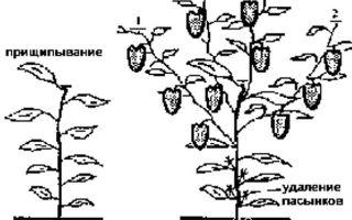 Пасынкование перцев в теплице: технология, схема, сроки, последующий уход, видео – выращиваем в теплице