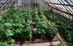 Помидоры: посадка, уход, что сажать вместе с томатами, выращивание в теплице, открытом грунте, фото, видео – выращиваем в теплице
