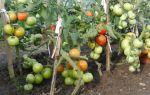 Томат катюша: описание, фото сорта, отзывы, видео – выращиваем в теплице