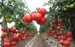 Томат верлиока: описание, фото, урожайность, отзывы, выращивание, пасынкование, видео – выращиваем в теплице