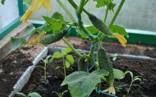 Выращивание огурцов в домашних условиях: как посадить зимой дома, уход, подкормка, фото, видео – выращиваем в теплице