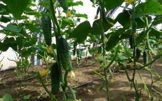 Семена огурцов для теплиц: как выбрать, какие самые лучшие, фото, видео – выращиваем в теплице