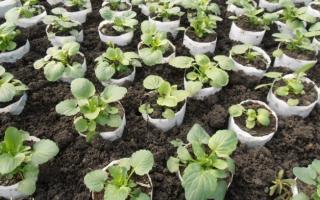 Выращивание анютиных глазок из семян: как вырастить, посадить, уход, фото, видео – выращиваем в теплице