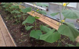 Огурцы в теплице: как омолодить, реанимировать, описание способов, фото, видео – выращиваем в теплице