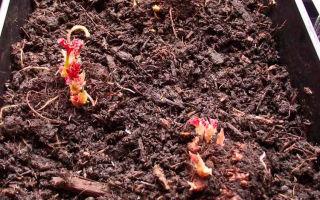 Клубневая бегония – посадка и уход с фото, как вырастить в домашних условиях и в саду – выращиваем в теплице
