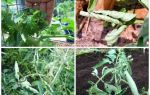 Почему листья у томатов скручиваются: что делать, лечение и профилактика болезней, фото, видео – выращиваем в теплице