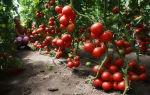 Краснодарские сорта помидоров: для открытого грунта края, какие семена томата для рассады, описание, видео – выращиваем в теплице