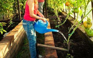 Полив помидоров в теплице и открытом грунте: как часто, когда прекращать, как правильно, в августе во время плодоношения, фото, видео – выращиваем в теплице