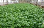 Картофель в теплице: агротехника выращивания, посадка и уход, фото, видео – выращиваем в теплице