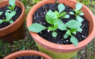 Георгины фигаро: отзывы, фото, выращивание из семян, видео – выращиваем в теплице