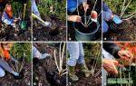 Посадка смородины осенью – когда и как проводить работы в разных регионах – выращиваем в теплице