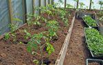 Хранение зеленых помидор: как правильно в домашних условиях, какой срок, как сохранить посадки рассады, какие сорта, описание, видео – выращиваем в теплице
