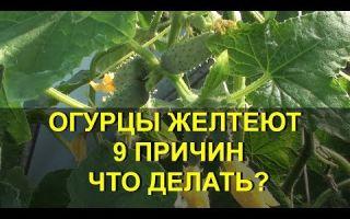 Почему желтеют листья и завязи у огурцов: в теплице, открытом грунте, причины, что делать, как избежать, фото, видео – выращиваем в теплице