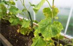 Почему сохнут листья у огурцов: причины, что делать, фото, видео – выращиваем в теплице