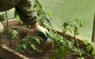 Чем подкормить помидоры после посадки в теплицу из поликарбоната: минеральные, органические удобрения, сидераты, фото, видео – выращиваем в теплице