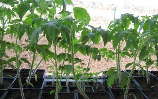 Томат джина: характеристика и описание сорта, отзывы, фото помидоров, выращивание, видео – выращиваем в теплице