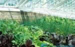 Зелень – выращиваем в теплице